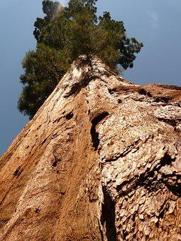 Tree, Sequoia, Wood, Bark, Huge, Tribe