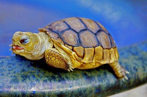 Turtle, Animal, Reptile, Baby, Blue