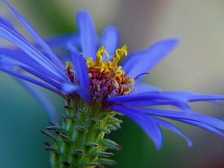 Blue, Arctic Aster, Wildflower, Nature, Macro