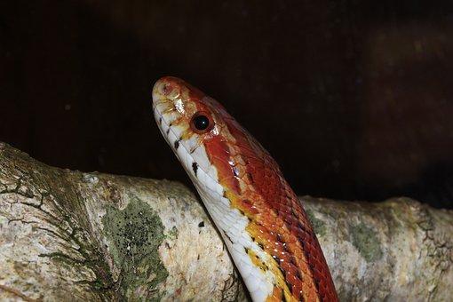 Corn Snake, Pantherophis Guttatus, Non Toxic, Eye