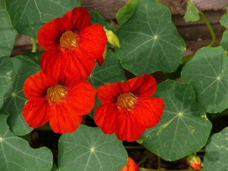Nasturtium, Red, Flowers, Blossom, Bloom, Blooming