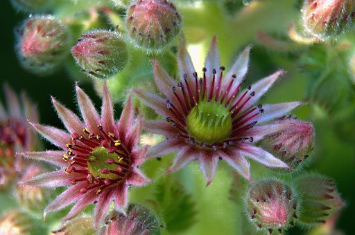 Joubarde, Succulent, Flower, Brightly Colored, Nature