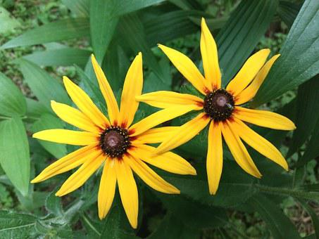 Rudbeckia, The Two Clusters, June