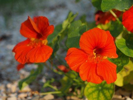 Nasturtium, Blossom, Bloom, Flower, Red, Garden, Orange