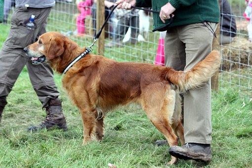 Dog, Retriever, Handler, Lead, Pet, Animal, Canine