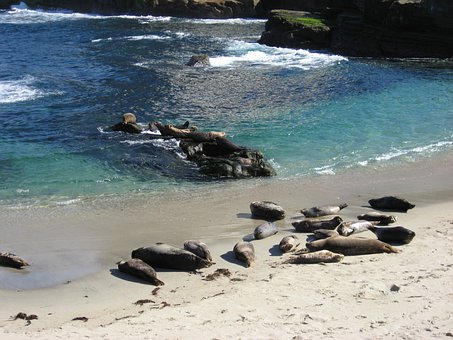 Seals, Ocean, Mammal, Marine, Animal, Wildlife, Beach