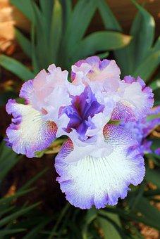 Iris, Flower, Bloom, Plant, Flora, Season, Spring