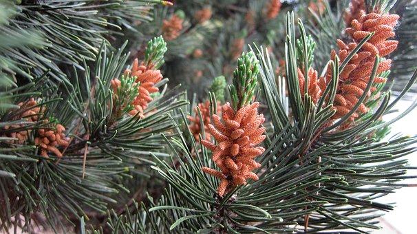 Pine, Pollen, Tree, Pine Pollen, Healthy, Superfood