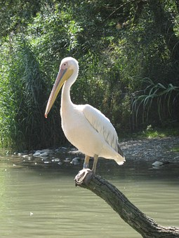 Pelikan, Basel, Zoo, Water Bird