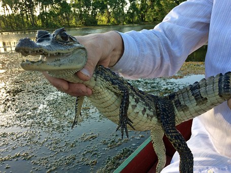 Travel, Tourism, Surinamese, Aligator, Crocodile, Small