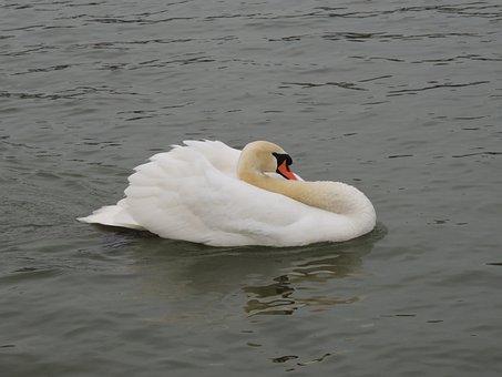 Swan, White, Bird, Water, Lake, Animal, Wildlife, Beak