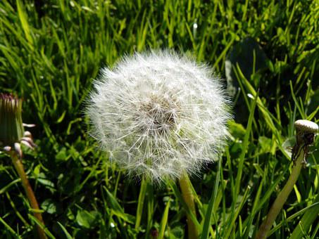 Dandelion, Blowball, Flower, Summer, Nature, Plant