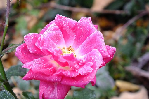Rose, Frost, Pink, Cold, Nature, Late Autumn, Faded