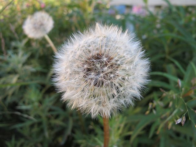 Dandelion, Flower, Blowball, Plant, Nature