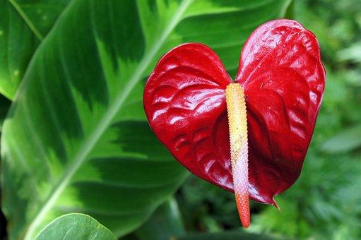 Anthurium, Flower, Red, Laceleaf, Tropical, Botany
