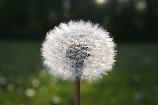 Flower, Seeds, Dandelion, Furry, Clockflower, Blowballs