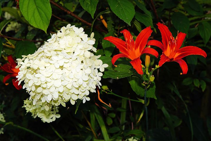 Flowers, Red, White, Garden, Hydrangea, Lily