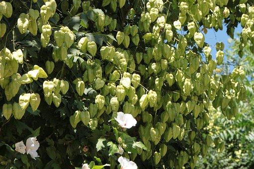 Fruits, Golden, Koelreuteria, Paniculata, Rain, Tree