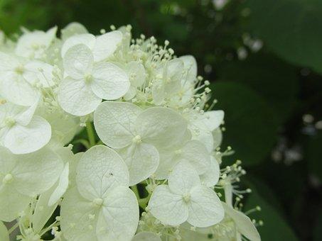 Hydrangea, White-flowered, Deciduous, árnyéki