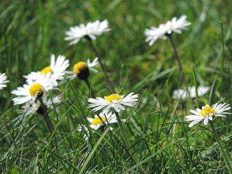 Goose Bluehmchen, Meadow, Green, Nature, Grass, Close