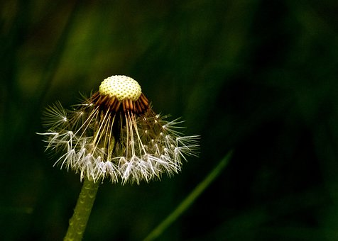 Dandelion, Blowball, Wild Flower, Meadow Wild Plant