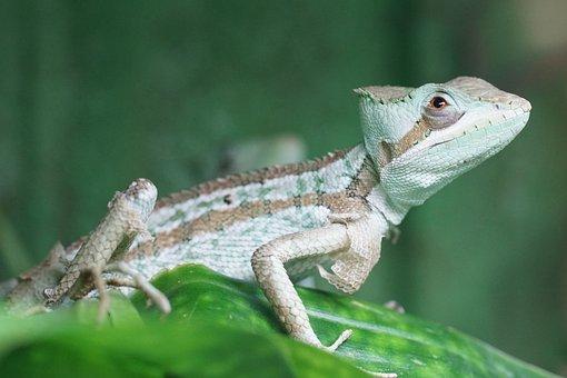 Crown Basilisk, Iguana, Reptile, Scale