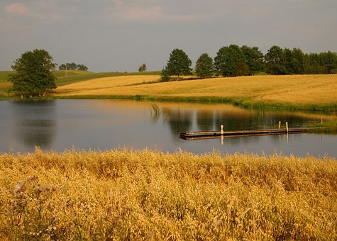Nature, Landscape, Pond, Lake, Corn, Yellow, Summer