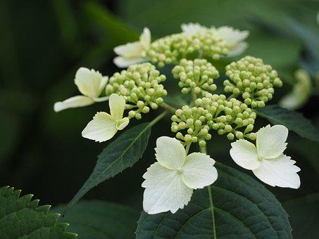 Hydrangea, Yamaajisai, White Flowers, Flowers