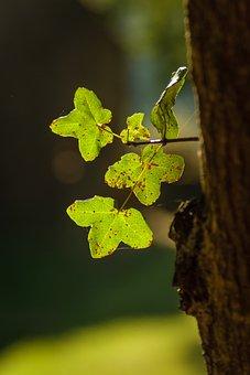 Acer Monspessulanum, Maple, Rock Maple, Leaf, Tree