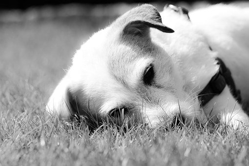 Jackrussel, Dog, Hunter, Animal, Pet, Friend, Playmate
