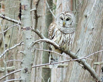 Owl, Barred Owl, Barred, Raptor, Talons, Facial Disc