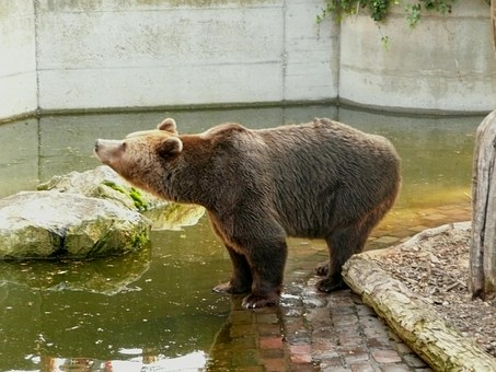 Freiburg, Bear Enclosure, Brown Bear, Sanfrancisco