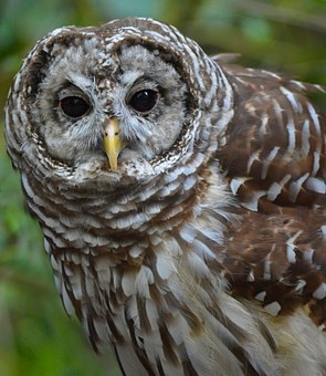 Barred Owl, Owl, Nature, Bird, Wildlife, Predator