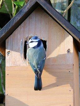 Blue Tit, Nesting, Nest Box, Male, Bird, Tit, Nest