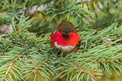 Allens Hummingbird, Hummingbird, Colibri