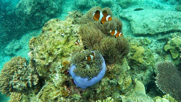 Clown Fish, Coral, Anemone, Sea, Immersion, Corals
