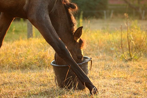 Horse, Foal, Feed Bucket, Eat, Grass, Evening Light