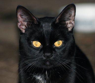 Cat, Black, Animal, Domestic, Pet, Crature, Eyes