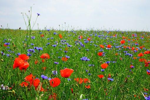 Field Of Poppies, Kornblumenfeld, Klatschmohnfeld