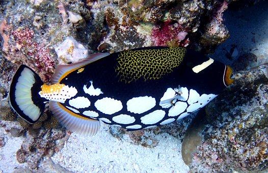 Clown Triggerfish, Fish, Animal