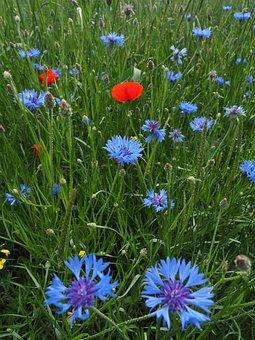 Cornflowers, Kornblumenfeld, Flower, Flowers, Blue