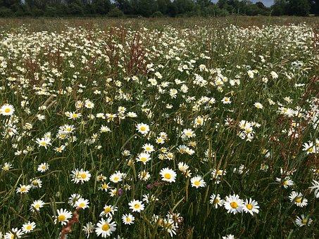 Daisies, Field, Flowers, Oxeye Daisies, Ox-eye Daisies