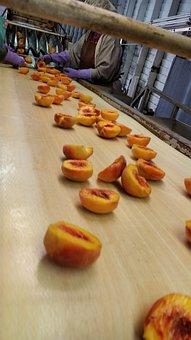 Processing, Peaches, Freestone, Fruit, Tree-ripened