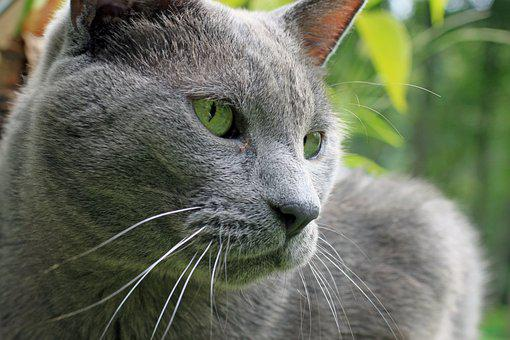 Cat, Pet, Male, Hybrid, Large, Gray, Rescue, Outside