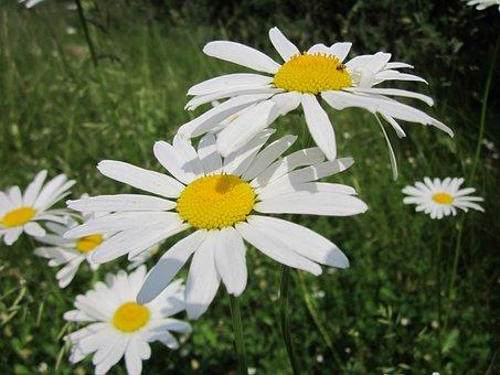 Leucanthemum Vulgare, Ox-eye Daisy, Oxeye Daisy
