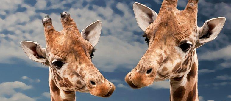 Giraffe, Funny, Animal, Love, View, Happy, Mammal