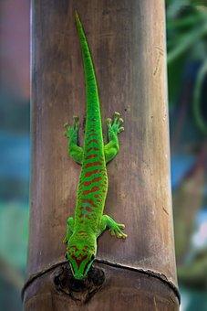 Malagasy Taggecko, Gecko, Day Gecko, Reptile Lizard