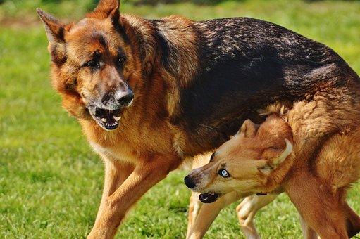 Dogs, Fur, Play, Fight, Meadow, Beige, Light Brown