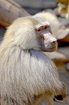 Baboon, Monkey, Sit, Watch, Monkey Males, Male