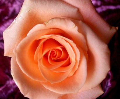 Roses, Peach Rose, Flower, Floral, Nature, Love